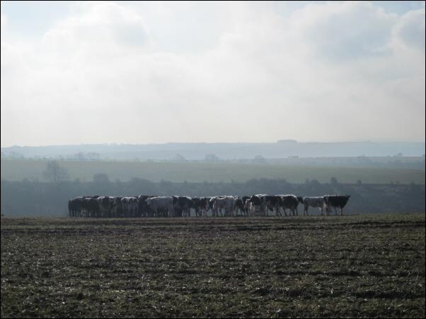 03_Cows
